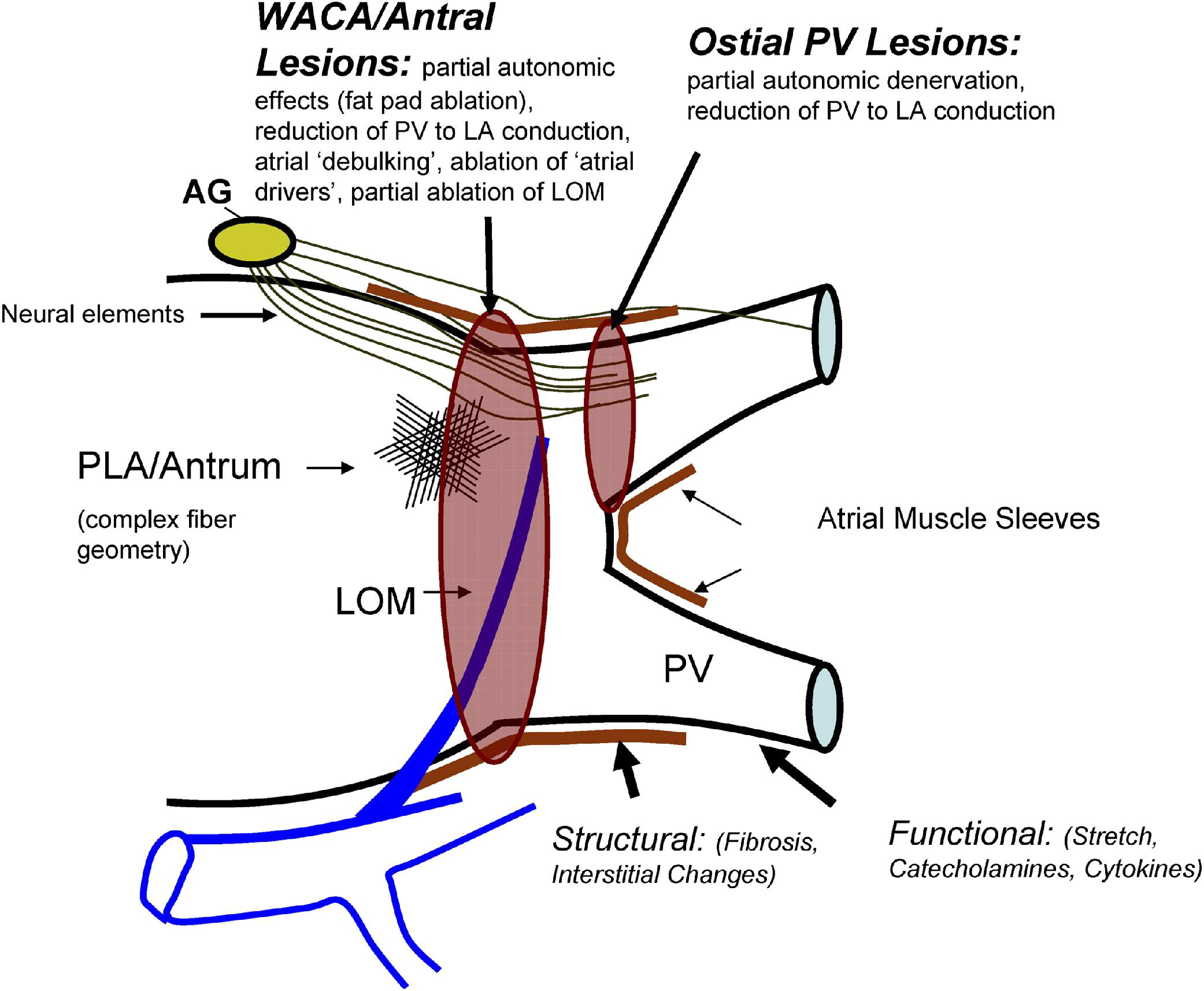 the role of the atrium in The right atrium receives deoxygenated blood from the body through the vena cava and pumps it into the right ventricle which then sends it to the lungs to be oxygenated.